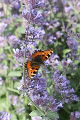 Schmetterling auf der Katzenminze