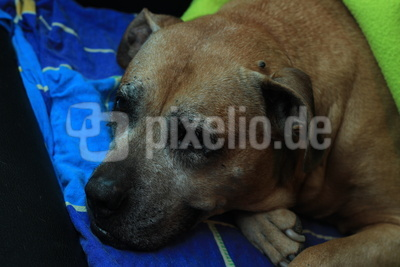 American Staffordshire Terrier Oma