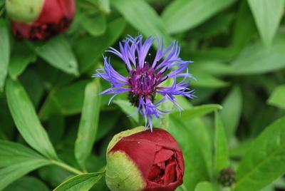 Die Kornblume - Centaurea cyanus