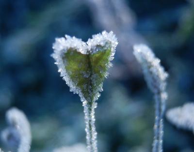 Kalte Hirtentäschelliebe