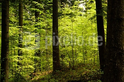 Laubwald mit Maigrün