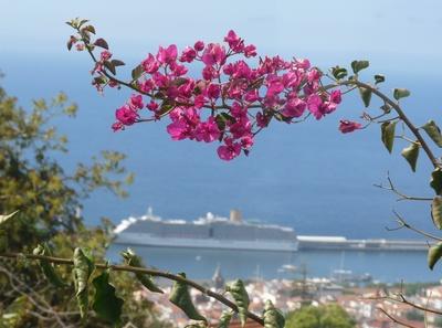 Bougainvillea über Funchal