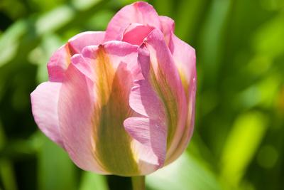 Tulpe im Garten