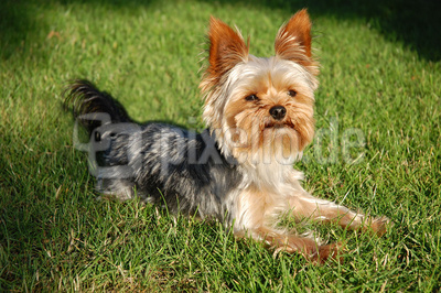 Yorkshire Terrier_01