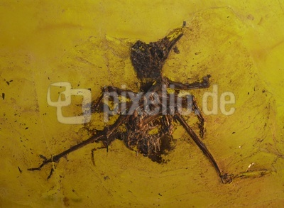 Urvogel (Ralle)