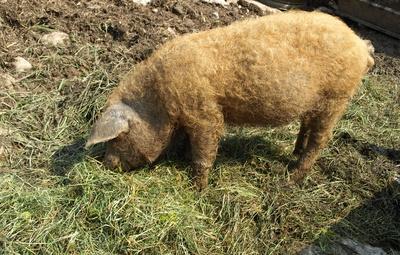 Das Schweinchen Nimmersatt