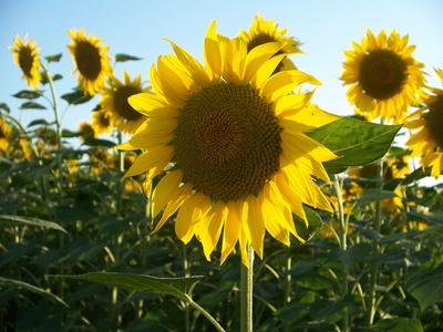 Sonnenblume888-2