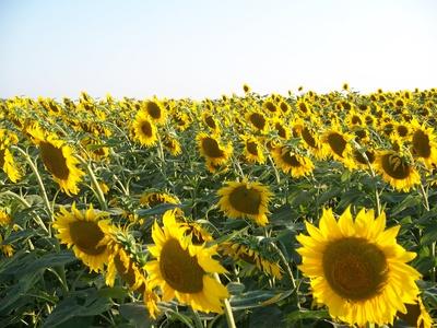 Sonnenblumenfeld888-4