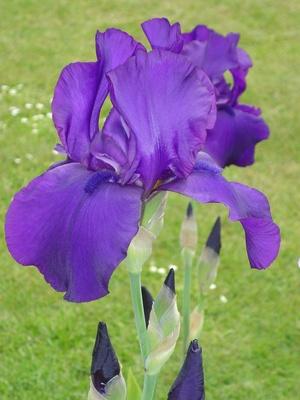 Violette Lilie.1