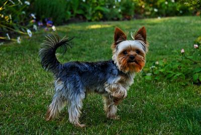 Yorkshire_Terrier_02