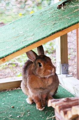 Kaninchen Dame
