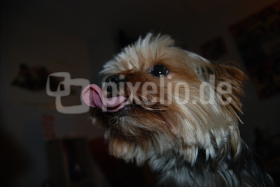 Yorkshire_Terrier_03