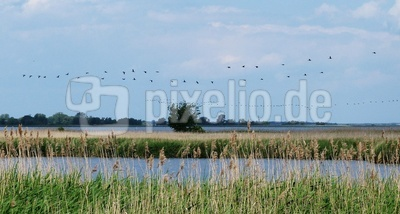 Vogelflug auf Usedom/Achterwasser
