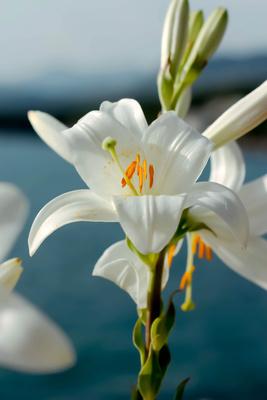 Blüte der Madonnenlilie