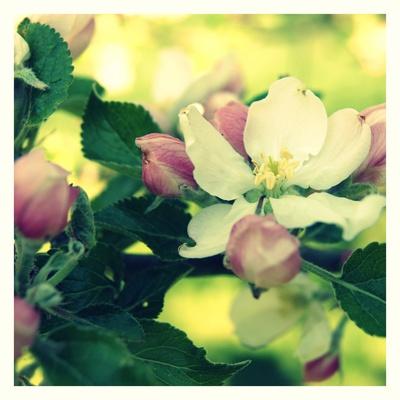 Apelblüte_1