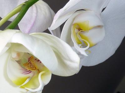 orchideenblüte 1.0