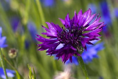 Violette Kornblume