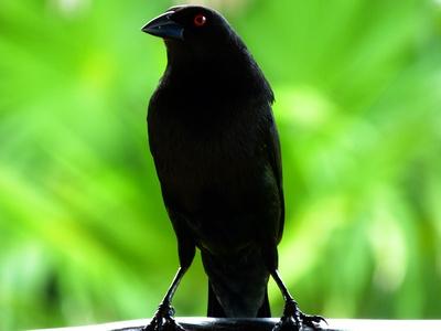 der mexikanische Vogel