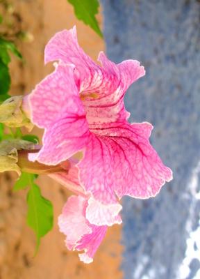 spanische blüte