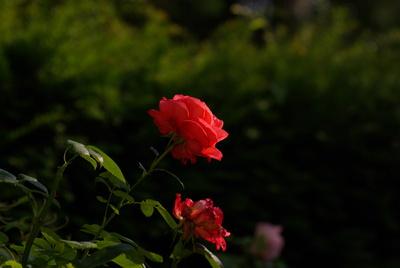 Kraftvoll und welk: 2 Rosen in der Abendsonne