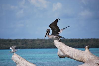 karibischer brauner Pelikan
