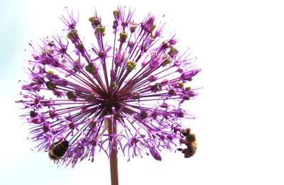 Blütenkugel mit Bienen