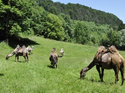 Kamele in Bayern
