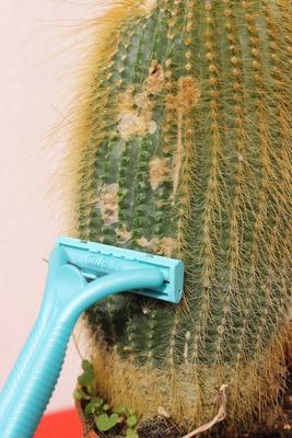 Kaktus - gut rasiert!