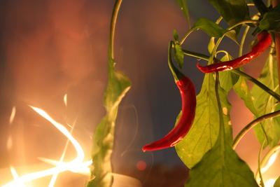 Feuerscharfe Peperoni
