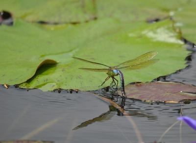 weibl. Königslibelle
