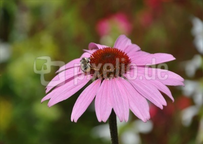 Echinacea mit  Hummel
