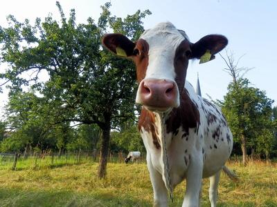 Was is, noch keine Kuh gesehen?