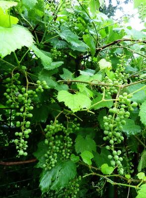 Nasser Wein