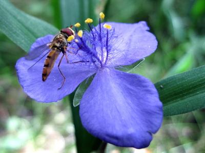 Dreimasterblume mit Insekt