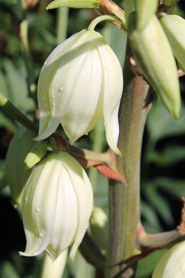 Yucca-Palmlilie