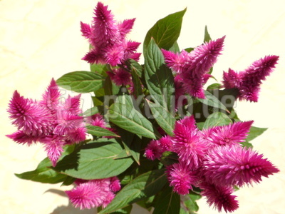 Mein farbiger Neuzugang - Celosia argentea