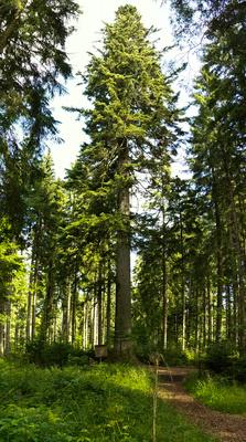 Großvatertanne - die größte im Schwarzwald