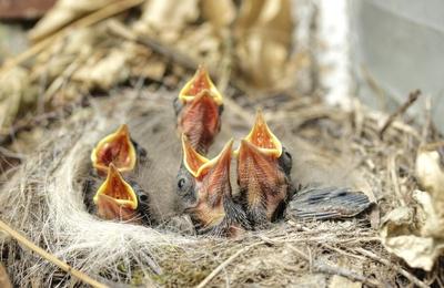 chor des motacilla alba ( bachstelzen )