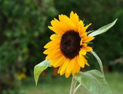 einzelne Sonnenblume