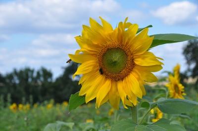 Sonnenblume mit Gästen
