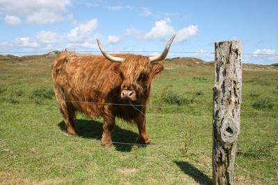 Highland_Rinder_Langeoog2