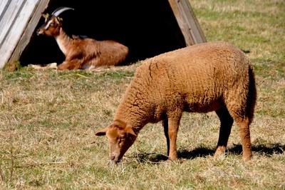 mal ein braunes Schaf...