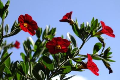 Petunien - Blüten vor Blau