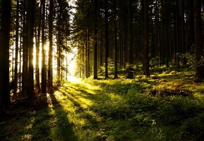 Morgensonne im Nadelwald