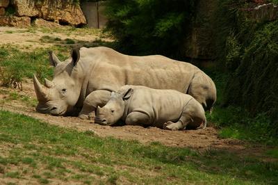Nashorn - Siesta