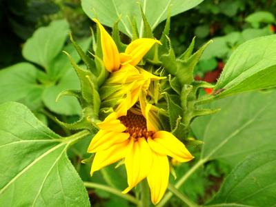 Sonnenblume beim Erwachen