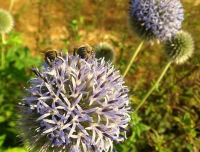 Kleine Bienen Popos :-)