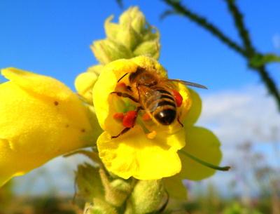 Bienchen mit vollen Taschen