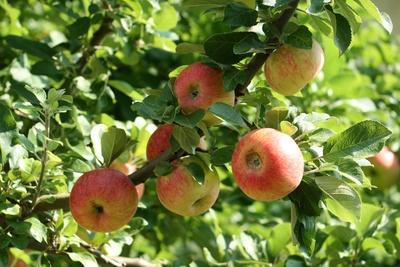 ungespritzte äpfel