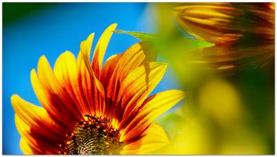 Sonnenblumenträume...